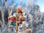 Frozen plants frost hard rime